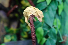 krönad gecko Royaltyfria Foton