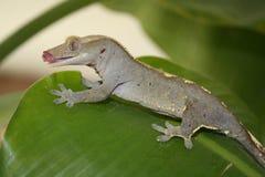 krönad gecko Arkivbilder