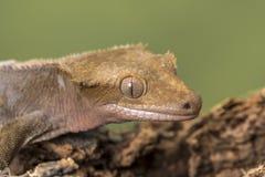 krönad gecko Isolerat mot en dämpad grön bakgrund Fokusera på synar arkivbild
