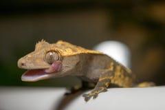 Krönad gecko som slickar ögat Royaltyfria Bilder