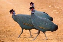 Krönad Guineafowl - Guttera pucherani arkivbild