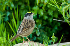 krönad guld- sparrow Arkivbild