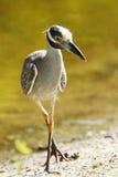 krönad heron dess yellow för förfölja för nattrov Fotografering för Bildbyråer