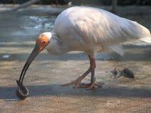 Krönad ibis, löst foder, Fotografering för Bildbyråer