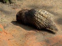 krönad indisk porcupine Arkivfoto