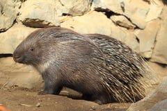 krönad indisk porcupine Royaltyfria Bilder