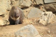 krönad indisk porcupine Arkivbild