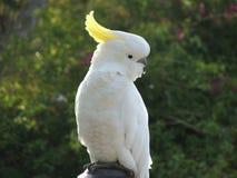 Krönad kakadua för australier Sulphar arkivfoto