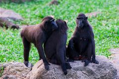 krönad macaque sulawesi Arkivfoton