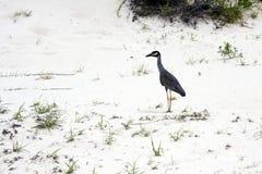 krönad nattyellow för heron ii Fotografering för Bildbyråer