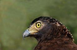 Krönad orm Eagle (den Spilornis cheelaen) Royaltyfria Foton
