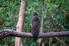Krönad orm Eagle, Spilornis cheela, Panna Tiger Reserve, Madhya Pradesh arkivbilder