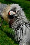 krönad pavonina för balearicablack kran Fotografering för Bildbyråer