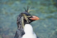 krönad pingvin fotografering för bildbyråer
