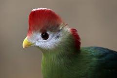 krönad röd touraco Royaltyfri Foto