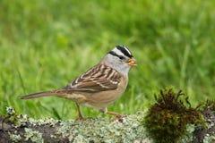 krönad sparrowwhite Royaltyfri Foto