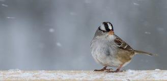 krönad sparrowwhite Fotografering för Bildbyråer