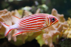 Krönad squirrelfish Royaltyfri Fotografi