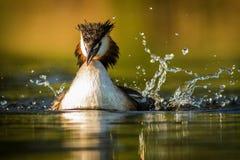 krönad stor dopping Royaltyfri Foto