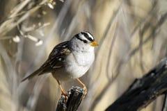 krönad zonotrichia för leucophryssparrowwhite royaltyfria foton