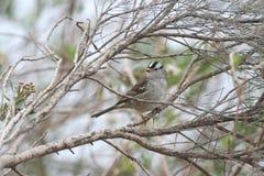 krönad zonotrichia för leucophryssparrowwhite Royaltyfria Bilder