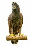 Krönade Eagle Bird Isolated Royaltyfri Foto