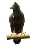 Krönade Eagle Bird Isolated Arkivbilder