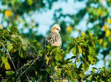 Krönade Hawk Eagle Royaltyfri Fotografi
