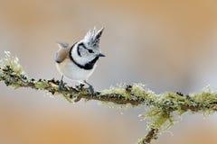 Krönat messammanträde på härlig lavfilial med klar bakgrund Sångfågel i naturlivsmiljön Detaljsångfågelstående av royaltyfri foto