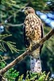 Krönat orm-Eagle (den Spilornis cheelaen) anseende i natur Arkivbild