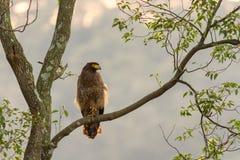 Krönat orm-Eagle (den Spilornis cheelaen) anseende i natur i Taiwan Royaltyfri Fotografi