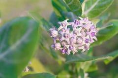 krönen Sie Blume, den riesigen indischen Milkweed, gigantisch, swallowwort lizenzfreie stockbilder