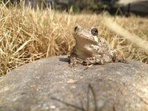 Kröte auf einem Felsen Stockfoto