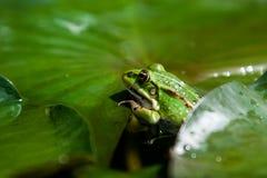 Kröte auf einem grünen Blatt stockbild