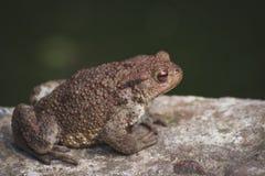 Kröte auf einem Stein Stockfoto