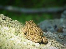 Kröte auf Felsen Lizenzfreie Stockfotografie