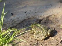Kröte auf Küstensand am Sommertag Lizenzfreie Stockfotos