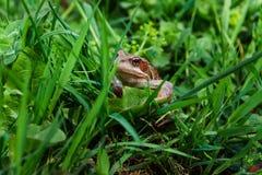 Kröte, die aus dem grünen Gras heraus schaut Lizenzfreie Stockfotos