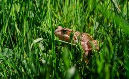 Kröte, die in grünes Gras geht Lizenzfreie Stockfotos
