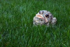 Kröte, die im Gras sitzt Lizenzfreie Stockbilder
