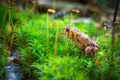 Kröte in einem köstlichen grünen Wald mit kleinem Strom stockfotografie