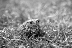 Kröte herein unter dem Gras Lizenzfreies Stockbild
