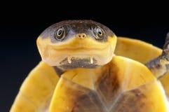Kröte-köpfige Schildkröte Amazonas/Batrachemys raniceps lizenzfreie stockfotos