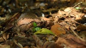 Kröte stieß groß für bedrohen Feind auf dem Boden im Wald luft stock footage