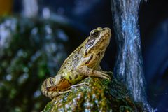 Kröten-Frosch auf einem Stein im Pfund stockbilder
