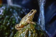 Kröten-Frosch auf einem Stein im Pfund stockfoto