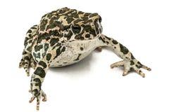 Krötengrün, Lat Bufo-viridis, lokalisiert auf weißem Hintergrund Lizenzfreie Stockfotos