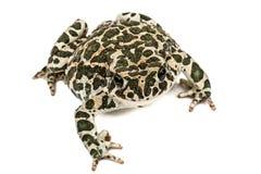 Krötengrün, Lat Bufo-viridis, lokalisiert auf weißem Hintergrund Stockbild