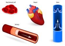 Krążeniowy system lub sercowonaczyniowy system ilustracji