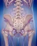 Krążeniowy system - posterior biodro royalty ilustracja